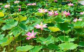 Wonderful Lotus Pond, Vietnam Flower