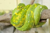 stock photo of green tree python  - Morelia viridis - JPG