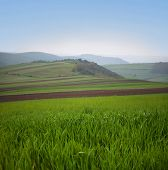 Beautiful scene with reshly green agricultural field, with young wheat growing, in the springtime