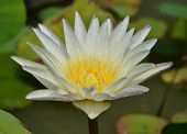 Single Yellow Lotus