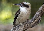 stock photo of kookaburra  - close up of a laughing kookaburra bird striking a pose - JPG