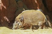 Wild Boar Walks On The Sand