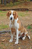foto of foxhound  - Dog hound on fallen leaves in the autumn forest - JPG