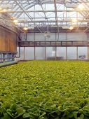 Roof Farm Lettuce Patch