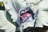 Red Cabbage  (brassica Oleracea Convar. Capitata Var. Rubra L.)