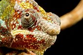 stock photo of panther  - Close up of the head of a Panther Chameleon  - JPG