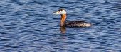 pic of great crested grebe  - A Red-necked Grebe swims in an Alaskan lake. His back is covered in beaded water from a recent dive.