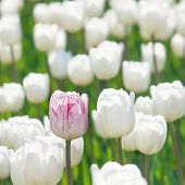 One Rosy Tulip In A Field Of White Tulips