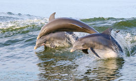 picture of bottlenose dolphin  - Three Dolphins jumping from the water on the Alabama Gulf Coast - JPG