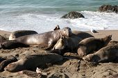 Male, Female and Baby, Elephant Seals enjoy life on the beach in San Simeon California.