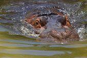 Hippo snort