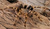 Chaco Golden Knee Tarantula