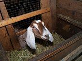 foto of nubian  - Nubian nice beautiful  brown goat in barn - JPG