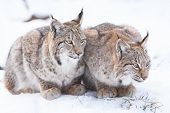 Two Watchful Lynx