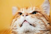 picture of orange kitten  - Close Up Head Snout Of Peaceful Orange Red Tabby Cat Male Kitten Looking Up On Yellow Background - JPG