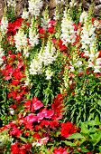 pic of begonias  - White Snapdragons (Antirrhinum) and red begonias in a flowerbed.