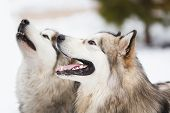 picture of husky sled dog breeds  - Two dogs breed of malamutes on the snow - JPG