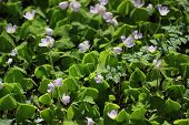 foto of sorrel  - Wood Sorrel in a forest near Greifswald Mecklenburg - JPG