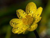 stock photo of celandine  - Small celandine in the dew in the sun - JPG