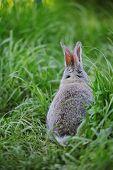 Grey Baby Rabbit In The Grass