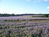 Borage Field