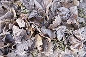 Autumn Leaves In Frostiness.