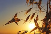 stock photo of oats  - agricultural background, spikelets of oats at sunset ** Note: Shallow depth of field - JPG