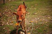 Calf chews leaf