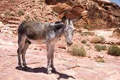 A Donkey stands in front of the ancient ruins of Petra, Jordan