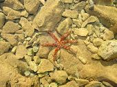pic of oceanography  - Group of starfish Cushion sea star Oreaster reticulatus underwater on sea bottom - JPG
