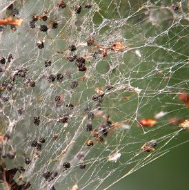 stock photo of ermine  - Close up of the web produced by ermine moths - JPG
