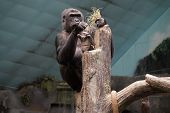 stock photo of lowlands  - A western lowland gorilla playing with straw at the top of a tree trunk - JPG