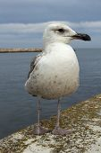 pic of lagos  - Seagull at Lagos Harbour on the Algarve Portugal - JPG