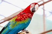 image of cockatoos  - Red Macaw or Ara cockatoos parrot siting on wooden perch in zoo - JPG