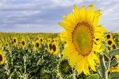 foto of sunflower  - Sunflower Species Helianthus annuus crop landscape Andalusia. Southern Spain. The sunflower is an annual plant grown as a popular crop for its edible oil and edible fruits.