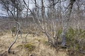 pic of birching  - View on a forest with birches - JPG