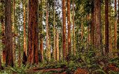stock photo of redwood forest  - Landscape image of a redwood forest in Northern California - JPG