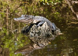 stock photo of alligator  - Baby alligator lying on piece of wood in the middle of Louisiana swamps - JPG