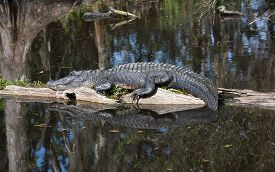 picture of alligator  - Alligator lying on piece of wood in the middle of Louisiana swamps - JPG