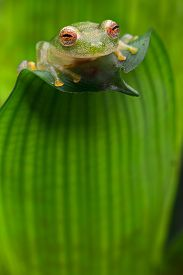 picture of animal eyes  - tropical glass frog from Amazon rain forest - JPG