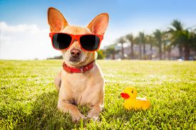 image of grass  - chihuahua dog relaxing and resting lying on grass or meadow at city park on summer vacation holidays - JPG