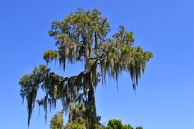 picture of epiphyte  - Swamp cypress with spanish moss growing on it - JPG