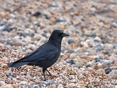 Carrion Crow on Seaford Beach
