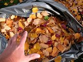 stock photo of leaf-blower  - filling a bag of leaves during a colorful autumn day