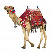 The lonely domestic camel isolated on white. poster