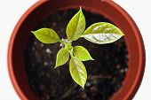 picture of avocado tree  - Young plant avocado in a pot close - JPG