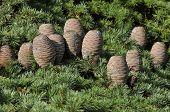 Cedar Of Lebanon Cones