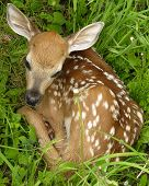 stock photo of bambi  - Newborn Whitetail deer fawn curled up in the grass - JPG