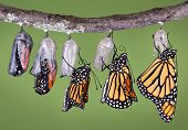 picture of monarch butterfly  - A composit of various views of a monarch emerging from its chrysalis - JPG