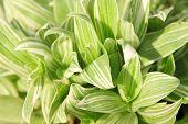 Metatarso grama de pato verde